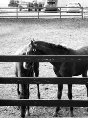 TWO HORSES IN BLACK AND WHITE (Visual Images1) Tags: horses blackandwhite fence 6ws monotone whiteandblack
