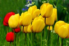 Spring flowers. Tulpen.  002 (George Ino) Tags: red copyright holland netherlands yellow utrecht dof tulips bokeh nederland depthoffield geel rood tulpen georgeino georgeinohotmailcom naturenatuurnatur