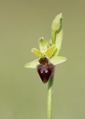 Early Spider Orchid Ophrys sphegodes (Iain Leach) Tags: plant orchid macro nature beautiful beauty closeup canon photography flora image wildlife photograph dorset purbeck macrophotography birdphotography beautyinnature wildlifephotography ophryssphegodes canoncameras canon5dmk3 earlyspiderorchidophryssphegodes canon1dx wwwiainleachphotographycom iainhleach
