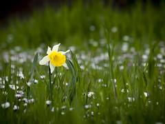 Narciso en primavera. (RosanaCalvo) Tags: flores planta primavera flor narciso henestrosadelasquintanillas
