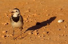 In my garden (Panoussiadis.) Tags: bird marocco