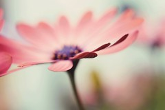 The daisy family {2} ({miss bex}) Tags: flower nature floral garden botanical 50mm nikon soft bokeh pastel crap dreamy creamy d3200 naturey