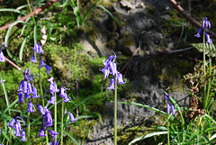 The Bluebells are out !! (Halliwell_Michael ## Many thanks for your visits #) Tags: flowers trees macro bluebells woodland spring woods dof springflowers westyorkshire springtime brighouse 2016 cromwellbottom nikond40x brighousespringmarket