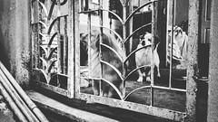 #mi4iphotography (Maxz Puia Goatz) Tags: blackandwhite dog square mi4iphotography