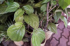 H504_3179 (bandashing) Tags: england plant green leaves garden manchester leaf vine foliage sylhet bangladesh climbers socialdocumentary paan stimulant betelleaf aoa piperbetle bandashing akhtarowaisahmed