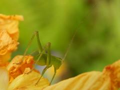 Katydid on dalhia (jeaniephelan) Tags: insect katydid