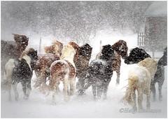 Winter is over. Finally :-) (Helgi Skulason photographer) Tags: winter horses island iceland islandia vetur islanda hestar ijslandse islndische helgiskulason helgiskulasongmailcom