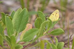 Sulphur Butterfly (stephaniepluscht) Tags: bon jeff butterfly friend wildlife alabama trail national sulphur refuge 2016 secour
