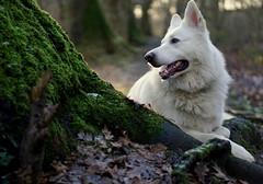 Somewhere in the forest. (e) Tags: dog chien white beautiful angel wolf hond hund kev kevlar sheperd herder canadeseherder swisssheperd zwiterse canadiansheperdfortwoodboswoudforeststamhoutgroenwoodpadborgersteinpadsintkatelijnewaverbbelgiumbelgiwintermosmosswhitewhite angelschweizer schferhundschferschferhundwitte