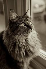Majestic Mavis <3 (Jenny.Lawrence) Tags: portrait cats animals sepia sony a7 mavis 365project 366project