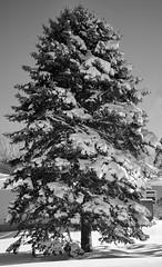 Day After Storm Jonas 13 - Snow Pine (George - with over 2 mil views - THANKS) Tags: winter usa snow monochrome us blackwhite newjersey unitedstatesofamerica snowstorm january mercercounty ewing winterscene acdseepro suburbanscene photogeorge nikond750