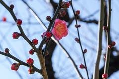 紅梅 寒江 (shinichiro*@OSAKA) Tags: winter flower japan january osaka crazyshin 大阪城 osakacastle plumblossoms 2016 紅梅 plumgrove 梅林 天守閣 redplumblossoms sd1m sigma1770mmf284dcmacrohsm sigmasd1merrill 20160114sdim1050