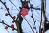 紅梅 寒江 (shinichiro*) Tags: winter flower japan january osaka crazyshin 大阪城 osakacastle plumblossoms 2016 紅梅 plumgrove 梅林 天守閣 redplumblossoms sd1m sigma1770mmf284dcmacrohsm sigmasd1merrill 20160114sdim1050