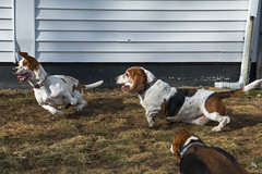 IMG_6099 (BFDfoster_dad) Tags: hound basset