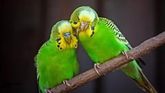 The new royal couple :-) (Saarblitz) Tags: paar portrt fasching vogel karneval farben rosenmontag narren wellensittich buntes prinzen prinzenpaar