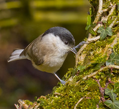 Marsh Tit - Poecile palustris (Ivan Lynas Nature Photography) Tags: