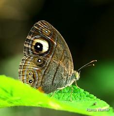 Gladeye Bushbrown (Mycalesis patnia) (RamaWarrier) Tags: coimbatore mettupalayam kallar