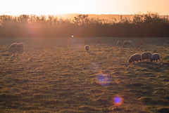 DSC02313 (JSpacagna) Tags: morning england plants sun nature water animals landscape canal sheep wildlife