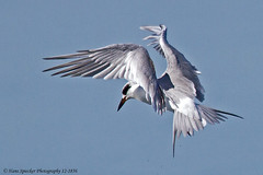 Tern, Forster's 12-1856-Edit (Hans Spiecker Photography) Tags: texas padreisland forsterstern 2012texasconference