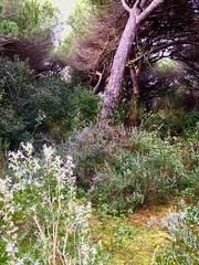Pineta (Foto Nick3) Tags: natura toscana grosseto maremma pineta 2016 oasidisanfelice