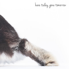 Hare Today, Gone Tomorrow (Jeric Santiago) Tags: pet rabbit bunny animal conejo lapin hase kaninchen   rabbitfoot rabbitbit