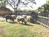 SAM_0690 (willian_vivas) Tags: animal prado natauraleza