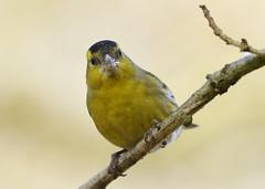 Siskin  (Kentish Plumber) Tags: male bird finch siskin