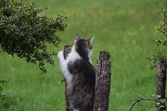 (La Magie Du Moment) Tags: nature chat jardin extrieur flin fauve