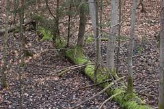 Steigerwald / Der Baum des Lebens! (Klaus R. aus O.) Tags: canon bayern ast natur baum wandern rinde leben neues steigerwald nadelbaum laubbaum 650d totholz