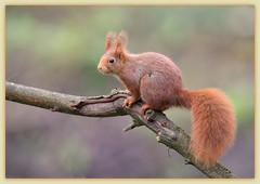ma star à moi!!! (guiguid45) Tags: nature nikon squirrel animaux forêt écureuil sauvage loiret mammifères 500mmf4 d810