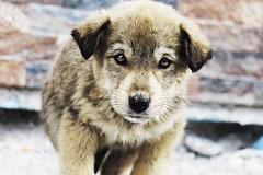 CUTE DOG UH ! (rumuzlu) Tags: winter dog snow photo eyes village bright ears kar ky k kpek hayvan fotoraf gzler kartanesi kulaklar snowleaks