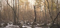 Not So Winter Landscape (flashfix) Tags: trees panorama usa snow ny newyork green nature water lines landscape moss woods nikon busy newyorkstate mothernature baldwinsville 2016 beaverlakenaturecenter d7000 nikond7000 55mm300mm 2016inphotos february052016