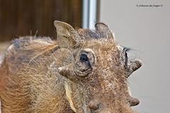 """OK, I posed for a photo, now where is my oats?"" (Johann (Sasolburg, RSA.)) Tags: warthog vlakvark vlakkie"