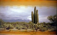 Olympus Trip 500, Kodak Max 400 (K e v i n) Tags: arizona cactus southwest film analog cacti 35mm desert az scan dirtroad kodakmax400 sonorandesert saguaros marana santacatalinamountains southernarizona olympustrip500 epsonv500