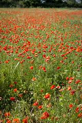 Poppy Field II (AnnaPirata) Tags: flower field pals catalonia poppies catalunya costabrava redflower poppyfield fujixe1
