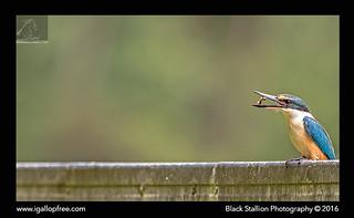Sacred Kingfisher 35