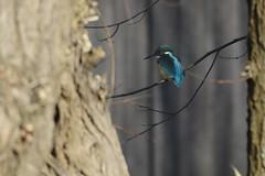 _HNS8170 IJsvogel : Martin-pecheur d'Europe : Alcedo atthis : Eisvogel : River Kingfisher