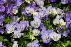 Pansies (Tatyana2016) Tags: park flowers blue nature garden nikon purple pansy dslr bbg pansies d40 nikond40