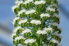 エキウム・シンプレックス/Echium simplex (nobuflickr) Tags: flower nature japan kyoto thekyotobotanicalgarden ムラサキ科 echiumsimplex awesomeblossoms エキウム属 エキウムシンプレックス 20160321dsc04172 エキウム・シンプレックス