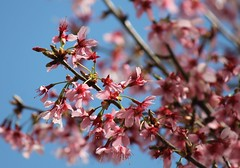 Happy First Day of Spring (karma (Karen)) Tags: trees topf25 dof bokeh blossoms maryland baltimore neighborhood cherrytrees 4spring 50favs