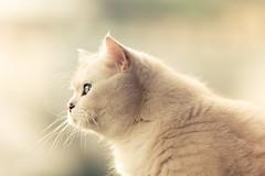Der Schwalben beobachter (Blochmntig) Tags: sunlight cat katze yeti whitecat kater blueeye britishshorthair catface cateye catposing bkh britischkurzhaar catmoments catinpose