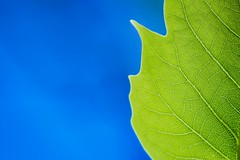 Green Leaf (icemanphotos) Tags: blue sky macro green leaves closeup leaf amazing colorful background details