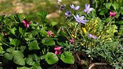 Leberblmchen (Hepatica nobilis) und Duftveilchen (Viola odorata) Kultivare - im Hintergrund ist ein gelb blhender Lerchensporn (Corydalis wilsonii) zu erahnen; Bergenhusen, Stapelholm (6) (Chironius) Tags: flower fleur germany deutschland blossom flor alemania  fiore blte viola allemagne ranunculaceae germania corydalis schleswigholstein blten ogie veilchen papaveraceae pomie violaceae   ranunculales niemcy lerchensporn rosids  malpighiales bergenhusen   stapelholm erdrauchgewchse fumarioideae mohngewchse pomienie hahnenfusgewchse hahnenfusartige malpighienartige szlezwigholsztyn fabids veilchengwchse