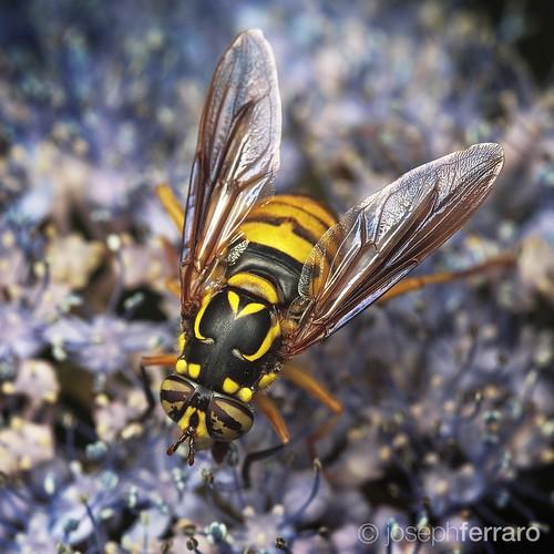 2015 Syrphid Fly - Spilomyia longicornis I believe