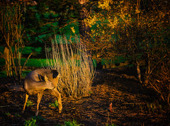 Early Morning Yoga (Colormaniac too (trying to catch up)) Tags: morning light nature animal yoga washington backyard colorful exercise state pacific northwest outdoor sequim doe deer textures grooming forsythia olympic peninsula flypaper