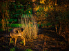 Early Morning Yoga (Colormaniac too) Tags: morning light nature animal yoga washington backyard colorful exercise state pacific northwest outdoor sequim doe deer textures grooming forsythia olympic peninsula flypaper