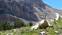 Rocky Mountain goat (Oreamnos americanus) nanny and kid on Mount Timpanogos, Northern Utah (rangerbatt) Tags:
