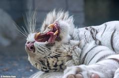 Rocky  - Just for the Heck of It (Harimau Kayu (AKA Sumatra-Tiger)) Tags: canada animal kara zoo feline tiger rocky bigcat snowwhite playful bengal sunbathing bigcats whitetiger zooshot tobu bengaltiger playfulcat knigstiger  tigreblanco pantheratigristigris tobuzoo tigreblancroyal  tigredubengale weisertiger playfultiger indischertiger   eltigredebengala latigrerealedelbengala playfulwhitetiger