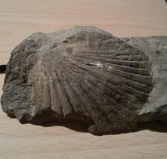 20151205_103748 (tirannosauro) Tags: fossile gransasso pecten pectinidae cerchiaradelgransasso