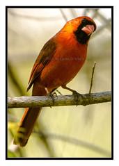 Cardinal - Cardinalis cardinalis (Crested Aperture Photography) Tags: red bird birds cardinal maryland aves oiseaux cardinaliscardinalis howardcounty midatlantic